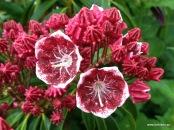 120604 kalmia latifolia kaleidoskop