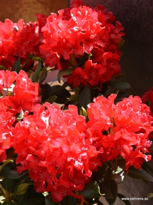 rhododendron small wonder