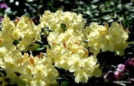 Rhododendron 'Goldinetta'