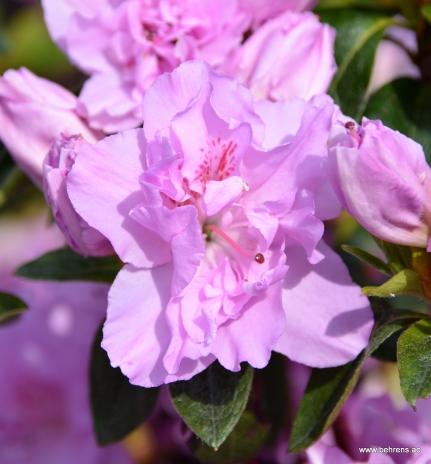 Azalea japonica 'Elsie Lee'