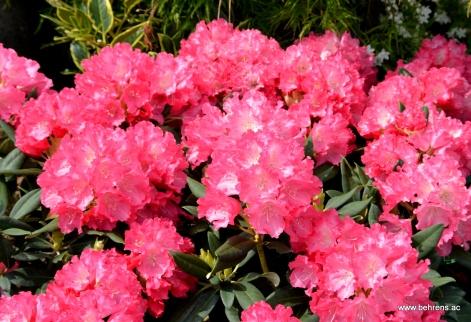 Rhododendron yakushimanum 'Sonatine'