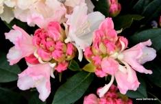 Rhododendron yakushimanum 'Dreamland'