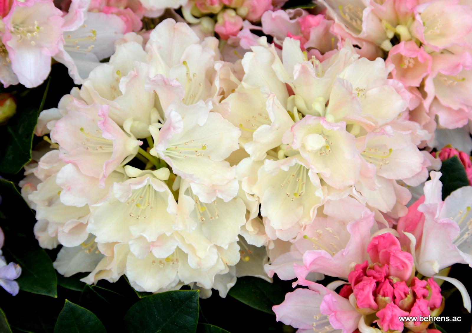 Rhododendron yakushimanum dreamland behrens for Gartengestaltung rhododendron