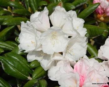 Rhododendron yakushimanum (Wildform)