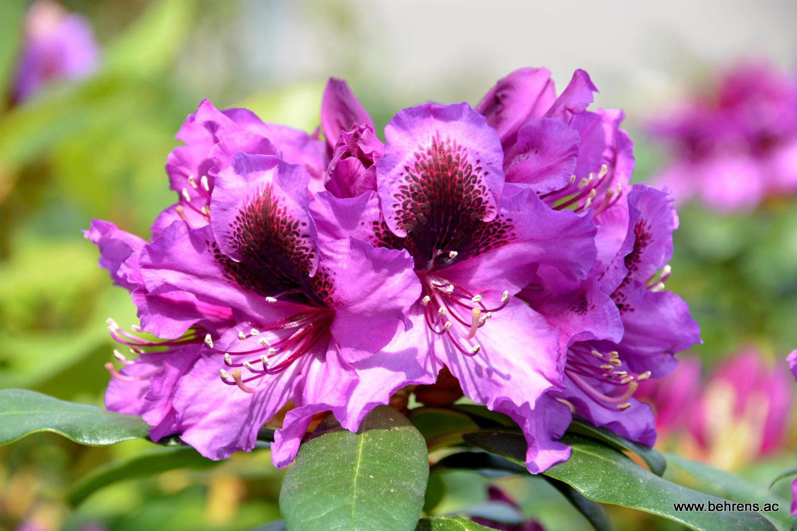Feuerwerk der farben rhododendren und azaleen behrens for Gartengestaltung rhododendron