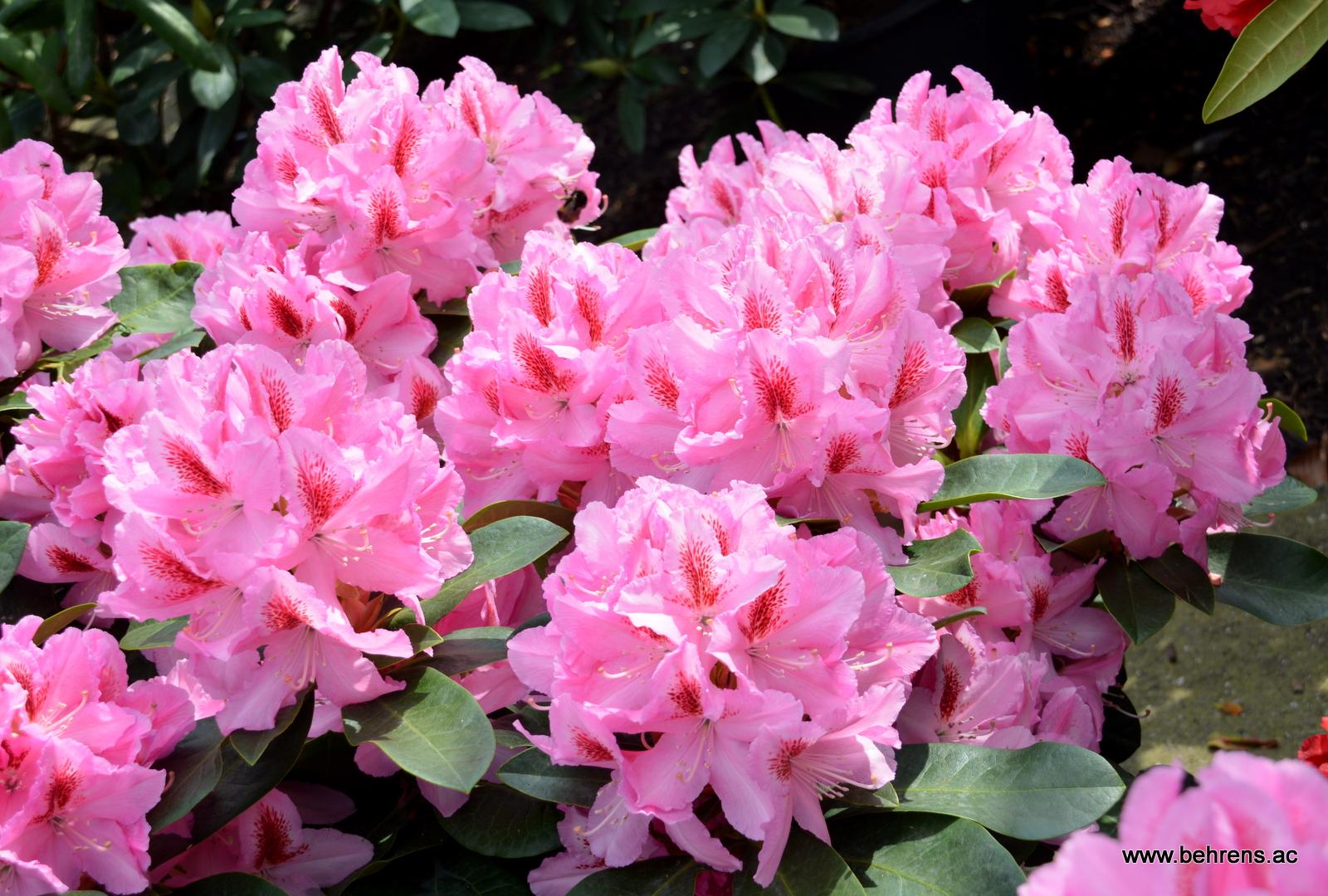 Rhododendron furnivals daughter behrens gartengestaltung for Gartengestaltung rhododendron