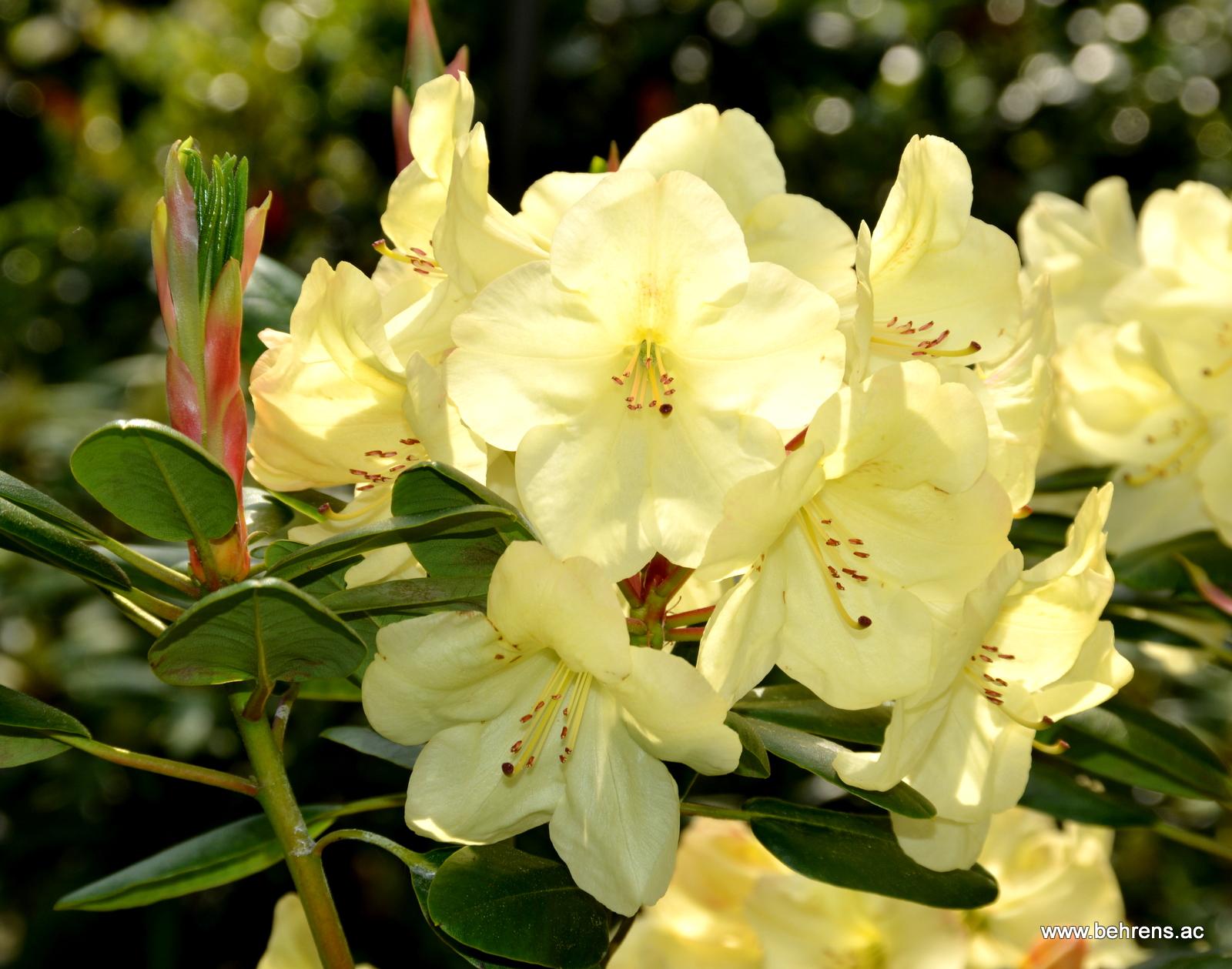Rhododendron goldinetta behrens gartengestaltung for Gartengestaltung rhododendron