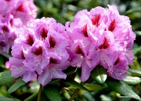 Baumschule behrens gartengestaltung for Gartengestaltung rhododendron