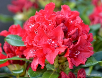 Rhododendron 'Small Wonder'