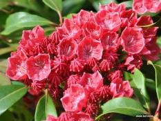 Umwerfend schön: die Lorbeerrose, Kalmia latifolia