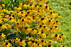 Sonnenhut | Rudbeckia 'Goldsturm'