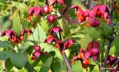Pfaffenhütchen - Euonymus europaeus 'Red Cascade'