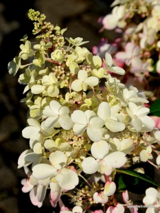 Rispenhortensie | Hydrangea paniculata 'Bobo'