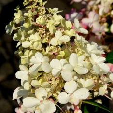 Rispenhortensie   Hydrangea paniculata 'Bobo'