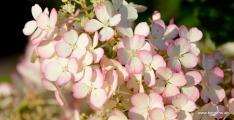 Rispenhortensie | Hydrangea paniculata