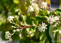 Sieben-Söhne-des-Himmels-Strauch | Heptacodium miconioides