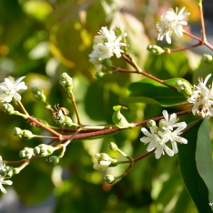 Sieben-Söhne-des-Himmels-Strauch   Heptacodium miconioides