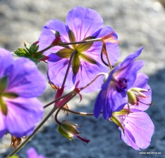 Storchschnabel | Geranium 'Rozanne' ®