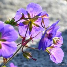 Storchschnabel   Geranium 'Rozanne' ®