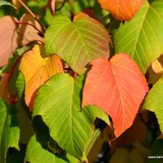 Acer rufinerve | Rotnerviger Schlangenhaut-Ahorn