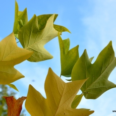 Liriodendron tulipifera | Tulpenbaum