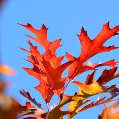 Quercus palustris 'Green Dwarf' | Kugel-Sumpfeiche