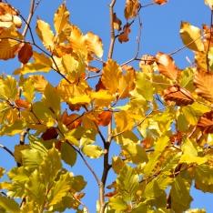 Fagus sylvatica | Rotbuche